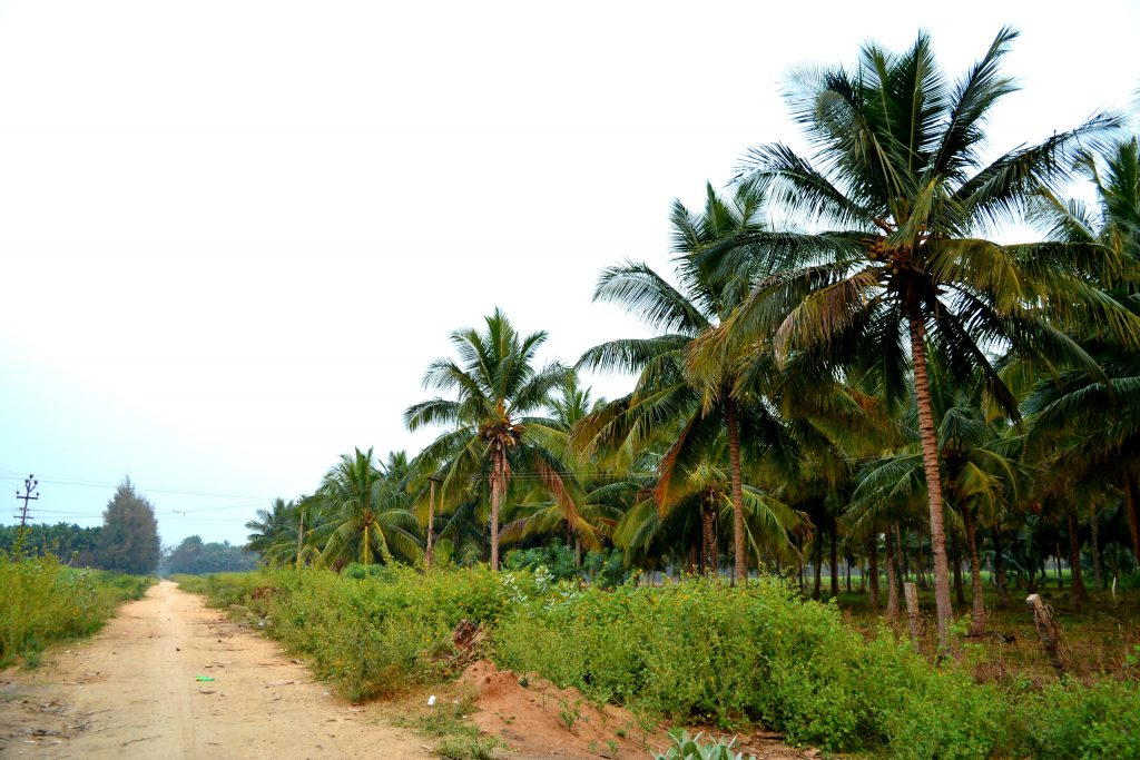 driving-along-the-coconut-groves-is-a-common-sight-in-coimbatore